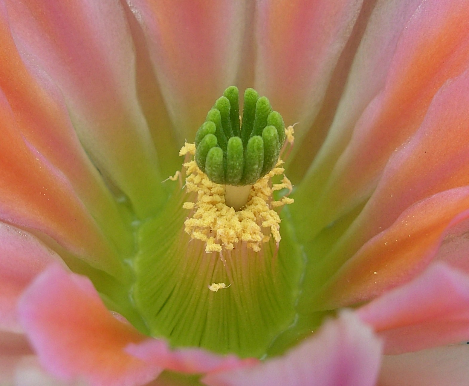 Echinocereus X Roetteri