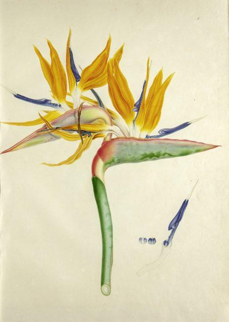 Teylers Museum Toont Botanische Kunst Van Franz En Ferdinand Bauer