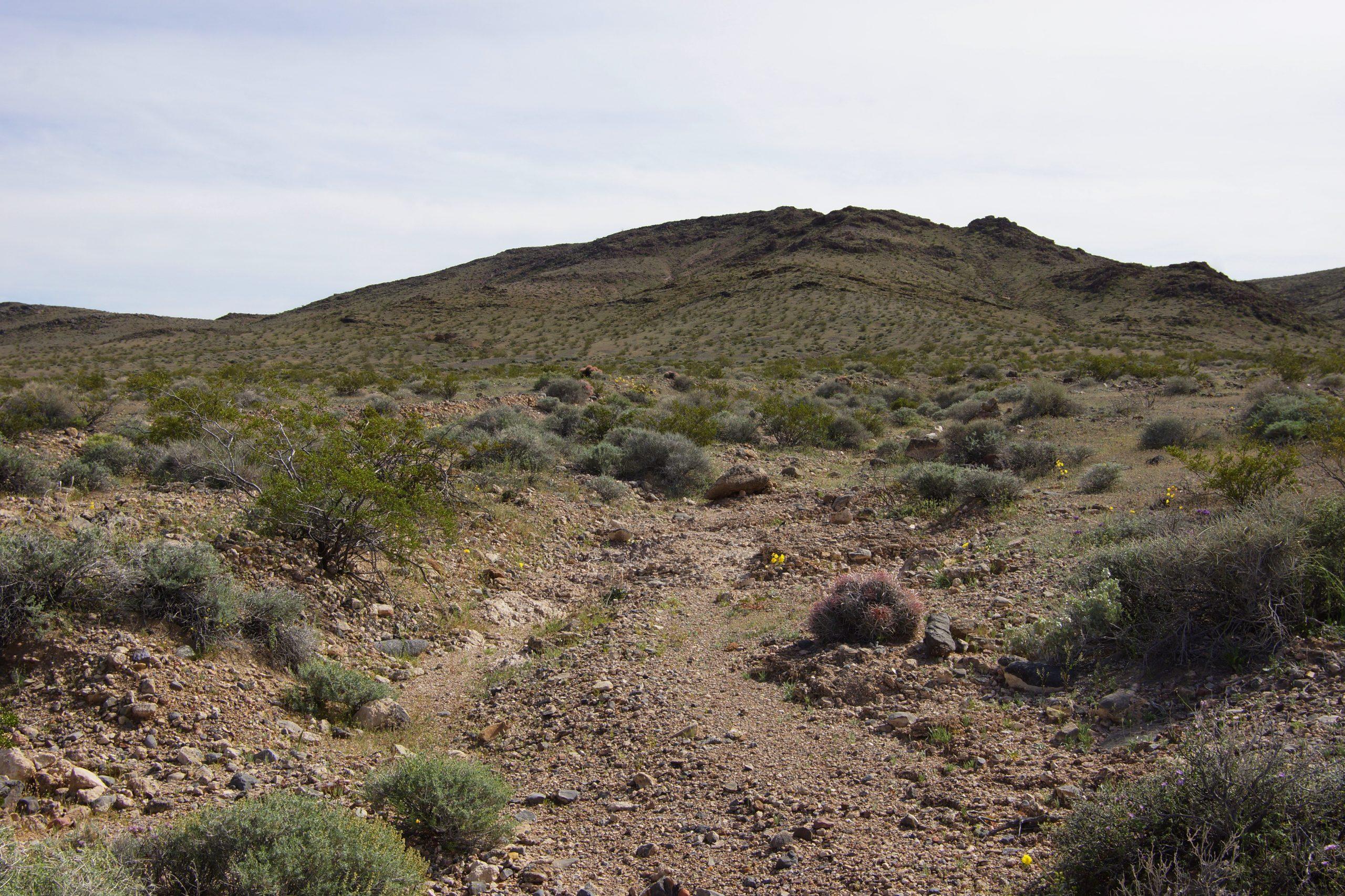 Egelcactus